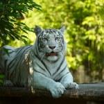 White tigress. — Stock Photo #8767308
