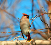 Bohemian waxwing on a branch of wild apple. — Stock Photo