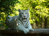 White tigress. — Stock Photo