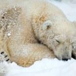 Sleepeng белый медведь — Стоковое фото