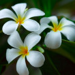 Stock Photo: White plumeria.