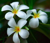 White plumeria. — Stock Photo
