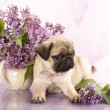 Close-up portrait pug puppy and flowers lilacs flowers — Stock Photo