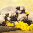 Portrait pug puppy and dandelions flowers — Stock Photo #10641838