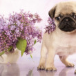 Pug puppy and spring lilas flowers — Stock Photo