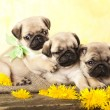 Portrait pug puppy and dandelions flowers — Stock Photo