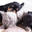 Kitten and puppies — Foto de stock #10642114