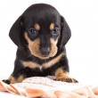 Dachshund puppy looking at camera — Stock Photo #10642293