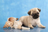 Pug puppy and sea shells — Stock Photo