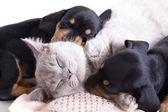 Kitten and puppies — Stock Photo