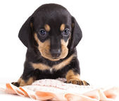 Dachshund puppy looking at camera — Stock Photo