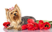 Yorkshire terrier and flowers — Stock Photo