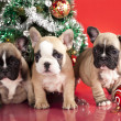 Foto de Stock  : French bulldog puppy and gifts christmas , ball