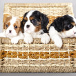 Cavalier King Charles spaniel puppies — 图库照片