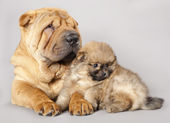 Shar pei puppy and Spitz — Stock Photo