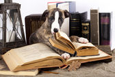 Dogs in glasses with books — Foto de Stock