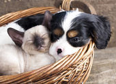 Chiot et chaton — Photo