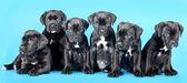 Vrhu štěně — Stock fotografie
