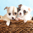 Puppy chihuahua — Stock Photo #8281071