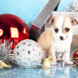 Chihuahua hua puppy — Stock Photo