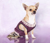 Chihuahua dressed in pink background — Stock fotografie