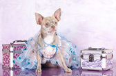 Chihuahua dressed in pink background — Stock Photo