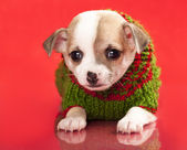Puppy chihuahua dressed in red background — Stock Photo