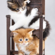 Kitten Maine Coon - Stock Photo