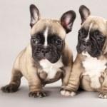 Puppy french bulldog puppy — Stock Photo #8375306