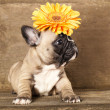 Royalty-Free Stock Photo: French bulldogs