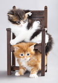 Kitten Maine Coon — Stock Photo
