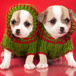 Puppy chihuahua dressed in red background - Stock Photo