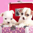Puppies chihuahua - Stock Photo