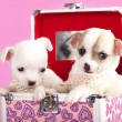 Stock Photo: Puppies chihuahua