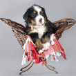 Stock Photo: Puppy Berner Sennenhund