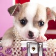 Puppy chihuahua — Stock Photo #8482235
