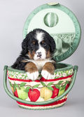 Puppy Berner Sennenhund — Stock Photo