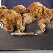 English cocker spaniel  puppy sleeping - Stockfoto