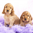 Spaniel  puppy - Stock Photo