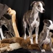 Whippet puppies - Stock Photo