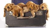 English cocker spaniel puppy sleeping — Stock Photo