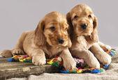 Spaniel puppy — Stock Photo