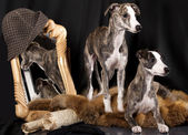 Whippet puppies — Stock Photo