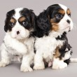 Stock Photo: Litter of Cavalier King Charles spaniel puppies