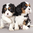 Litter of Cavalier King Charles spaniel puppies — Stock Photo