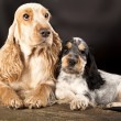 Stock Photo: Family English Cocker Spaniel dogs
