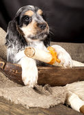 English Cocker Spaniel puppy — Stockfoto