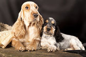 Family English Cocker Spaniel dogs — Stock Photo