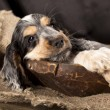 English Cocker Spaniel puppy — Stock Photo #8758998