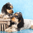 English Cocker Spaniel  puppy - Stock Photo